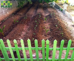 A freshly-ploughed and planted garden at Holy Family Primary School. (Photo: Plant Jamaica)