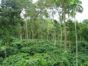 Shade grown coffee: helps farmers, helps birds, helps coffee.