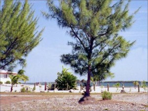 The Casuarina tree, or Australian Pine, is considered a harmful invasive in the Bahamas that damages the environment, especially beaches. (Photo: Free-Stock)