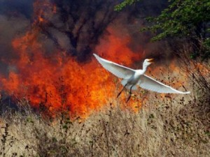 An egret flies from a large bush fire near Municipal Boulevard in Portmore, St Catherine. (Photo: Gleaner)