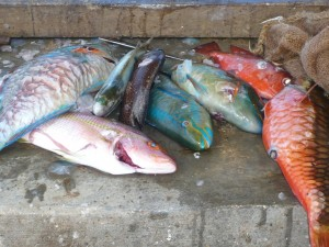 Parrotfish and other species caught by spearfishing (Photo A.E. Johnson).