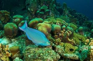 Chomp chomp: Queen parrotfish eating algae (Photo: S. Bysshe)