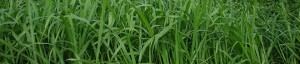 This is Mombasa grass.