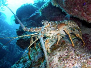 The Caribbean Spiny Lobster.