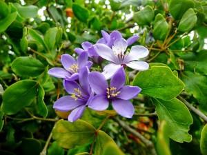 The lignum vitae is Jamaica's National Flower.