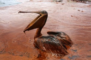 An oil-covered brown pelican sits in a pool of oil along Queen Bess Island Pelican Rookery near Louisiana in 2010. (Photo: Sean Gardner/Reuters/File)