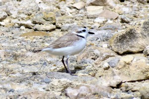 A Snowy Plover in South Caicos Cemetery Salinas, Turks and Caicos (Photo by Craig Watson)
